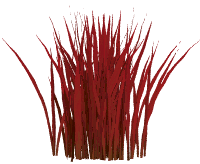 Imperata cylindrica RED BARON (Imperata cylindryczna RED BARON)